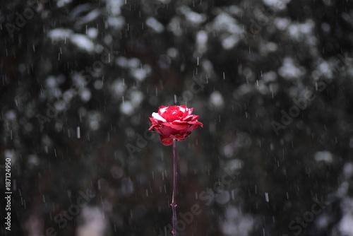 Fotografie, Obraz  Red flower in snowing in winter garden.