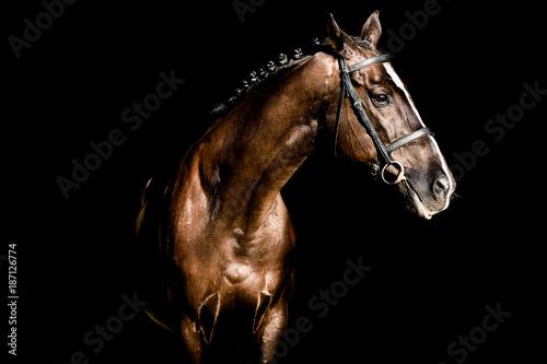 Slika na platnu Beautiful stallion posing on a black background