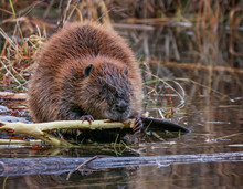 Big Beaver In A River Outlet G...