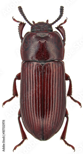 Uloma culinaris male, is a species of beetle in the family Tenebrionidae, the darkling beetles Canvas Print