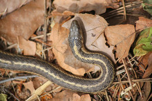 A Garter Snake In A Pile Of Le...