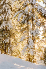 FototapetaChristmas evergreen pine trees in the snowin winter forest sunny day.