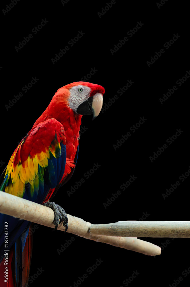 The scarlet macaw isolated on black background