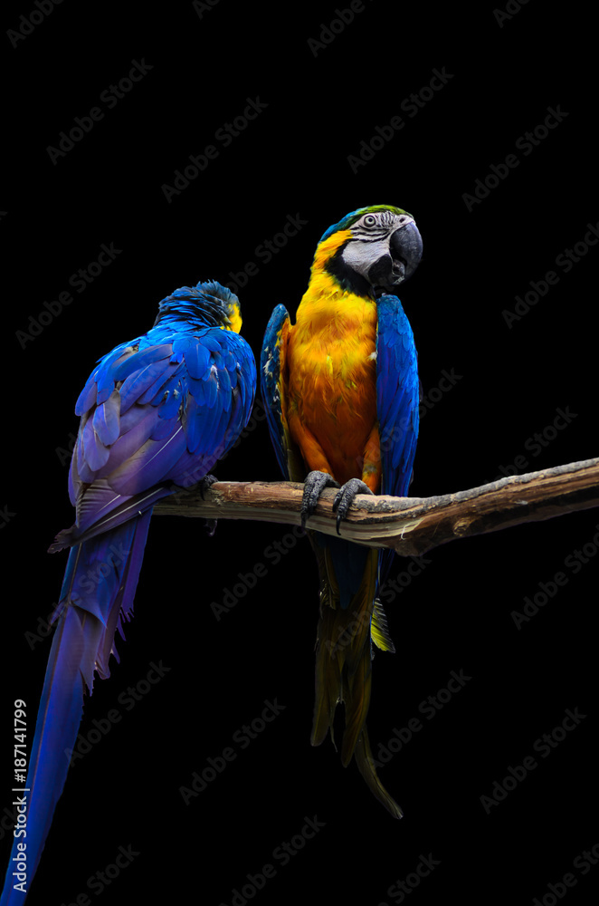 Blue-and-yellow macaws isolated on black background