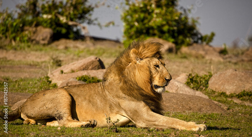 Cuadros en Lienzo  A magnificent male lion scanning the savanna around him in Kenya's Masai Mara Na