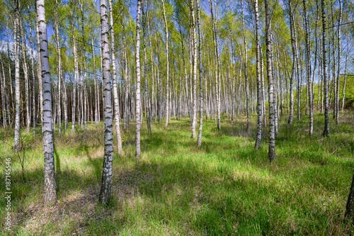 Birch grove in sunny spring day with white trunks of birches, fresh green foliage and blue sky in background. Spring forest landscape. Natural background.