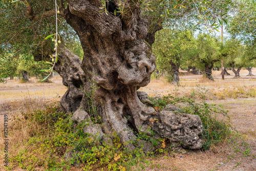 Tuinposter Olijfboom Olive field with big old tree roots and trunk. Zakynthos Island, Greece.