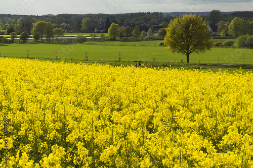 Fotobehang Zwavel geel golden field of blossoming rape with blue sky landscape of Germany - plant for green energy and oil industry