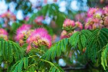 Albizia Julibrissin Flowers
