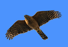 Coopers Hawk Flies Above Against A Clear Blue Sky