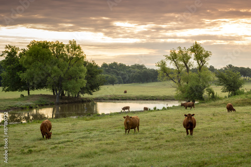 Cattle in the Pasture