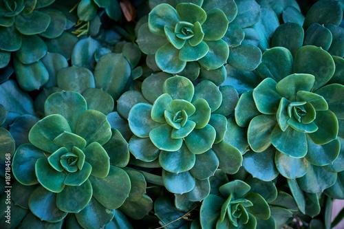 Valokuva  Succulenta, dettaglio