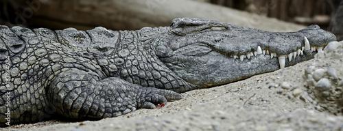 Nile crocodile. Latin name - Crocodylus niloticus