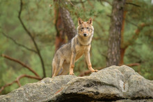The Gray Wolf Or Grey Wolf (Ca...