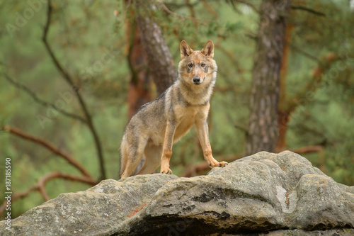 Naklejki wilk  the-gray-wolf-or-grey-wolf-canis-lupus-standing-on-a-rock