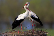 Pair Of White Stork Birds On A Nest During The Spring Nesting Period