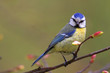 Single Blue tit bird on tree twig during a spring nesting period