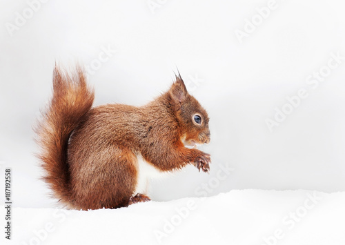 Tuinposter Eekhoorn Red squirrel sitting in the snow against white background
