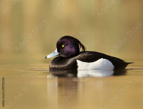 Male Tufted Duck swimming in the pond