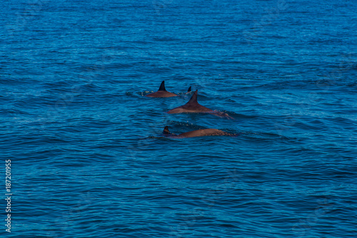 Photo  Beautiful dolphins swimming in the waves by the Na Pali cliffs near Kauai island