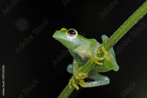 Glasfrosch (Teratohyla pulverata) - Powdered glass frog