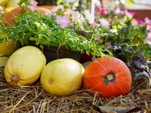 Close-up Detail Of Multiple Pumpkins And Spaghetti Squashes On A Pile Of Hay, Next To The Four O'clock Flower (Mirabilis Jalapa). Nakhon Ratchasima, Thailand. Agriculture And Harvest Concept.