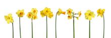 Différentes Variétés De Narcisses