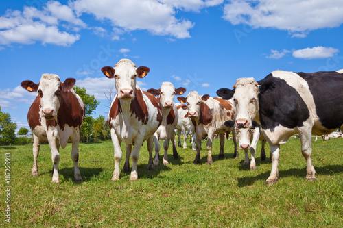 Poster de jardin Vache Bovin > Vache > Race à viande