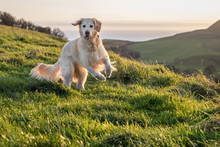 Golden Retriever Playing In Field At Sunset