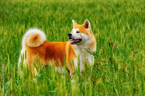 Dog in a field with tall grass. Akita Inu japan Wallpaper Mural