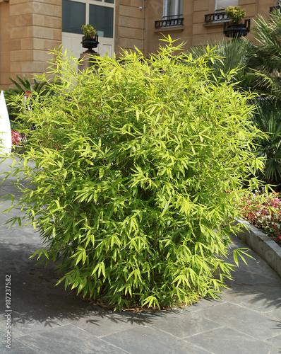 Bosquet de bambou sur une terrasse