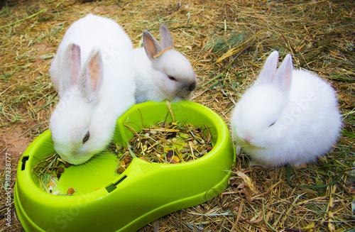 Fotografía  conejos blancos