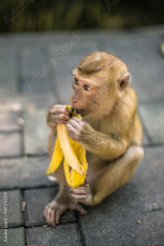 Staande foto Aap Monkey is eating banana. Thailand, Phuket, Monkey hill.