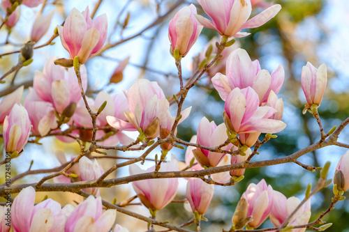 Brabches D Arbre De Magnolia Evec Des Fleurs Au Printemps Buy