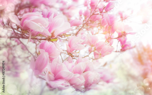 Poster Lente Magnolienblüte im Frühling