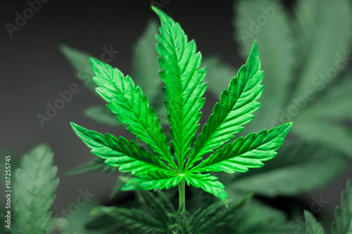liscie-marihuany-marihuana-na-ciemnym-tle-piekne-tlo-uprawa-wewnatrz