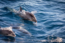 Atlantic Spotted Dolphins, Ste...