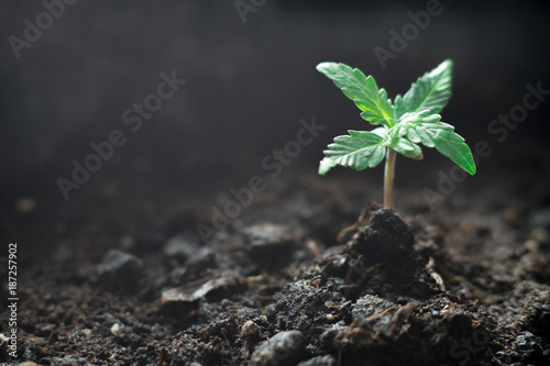 A small plant of cannabis seedlings at the stage of vegetation planted in the soil in the sun, a beautiful background, eceptions of cultivation in an indoor marijuana for medical purposes