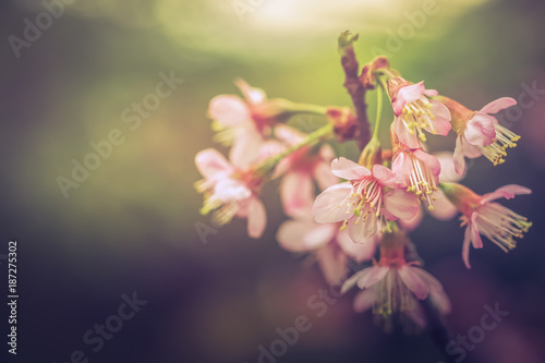 Poster Waterlelies Cherry Blossom flowers or Sakura in spring time, The wild himalayan cherry flowers.