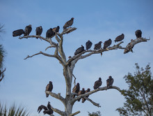 Dead Tree Full Of Buzzards Ove...