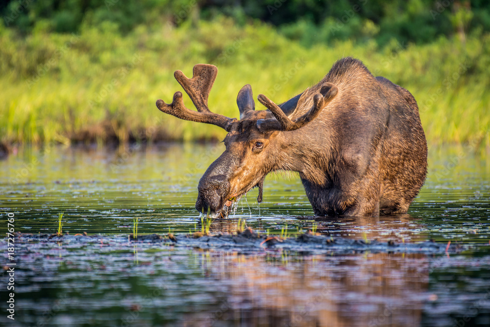 Fototapeta A bull moose eating lily pads in the lake in early morning. Shot in Algonquin Provincial Park, Ontario, Canada.