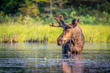 A Bull Moose Eating Lily Pads ...