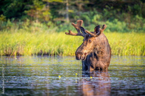 Obraz na plátně A bull moose eating lily pads in the lake in early morning