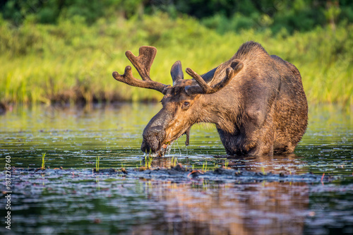 In de dag Canada A bull moose eating lily pads in the lake in early morning. Shot in Algonquin Provincial Park, Ontario, Canada.