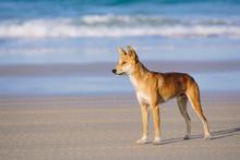 Dingo On The Beach In Great Sa...