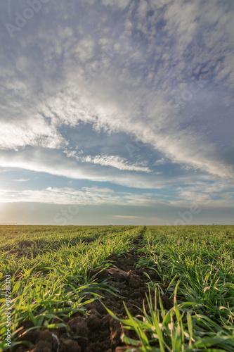 Tuinposter Bali Wheat seedlings growing in a field. Young green wheat growing in soil.