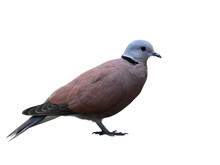 Red Turtle Dove (Streptopelia Tranquebarica) Or Collared Dove A Small Pigeon Which Residential Breeding Bird In Asia Isolated On White Background