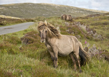 Shetland Pony South Uist Outer...