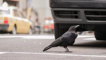 Crow Stood On The Street