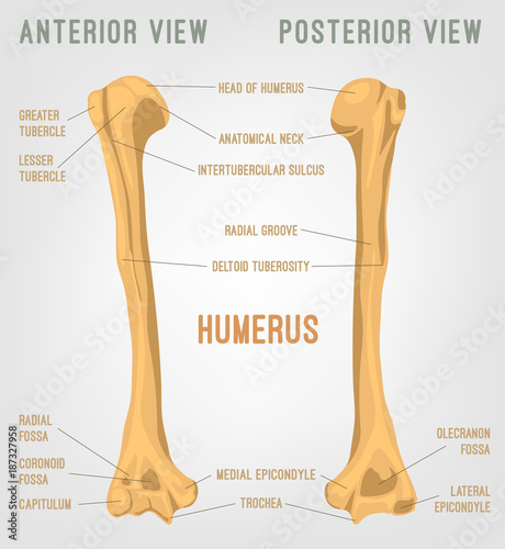 Human Humerus Bone - Buy this stock vector and explore similar ...